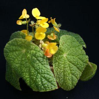 Begonia staudtii var. dispersipilosa