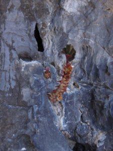 Begonia sp. nov. aff. B. wadei