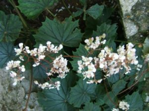 B. sericoneura