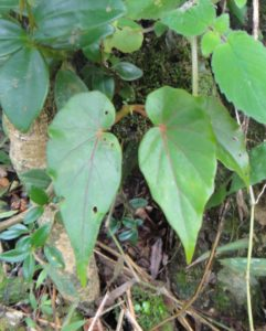 05 Begonia humbertii as an epiphytic one on a tree