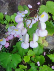 13 Begonia nossibea near the Mahavavy river