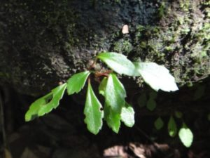 21 Begonia nana