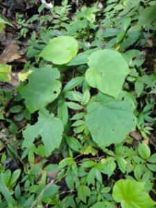 26 Begonia lyallii var. pubescens