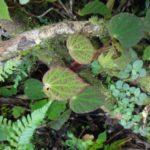28 Begonia betsimisaraka as an epiphyte on a tree