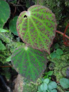 29 Begonia betsimisaraka