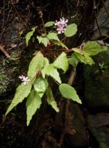 41 Begonia keraudrenae Bosser ? : a jewel !