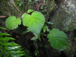 42 Unknown Begonia species near Ambilosykely river