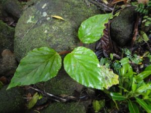 44 Begonia antongilensis Humbert, perhaps ?