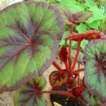 Begonia x 'Bettina Rothschild'