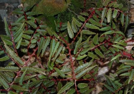 06 ou Begonia pteridiformis