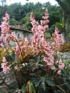 B. heracleifolia 01