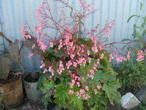 B. heracleifolia (vu en Ethiopie)