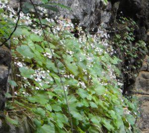 11 Begonia ankaranensis on the bat cave cliff